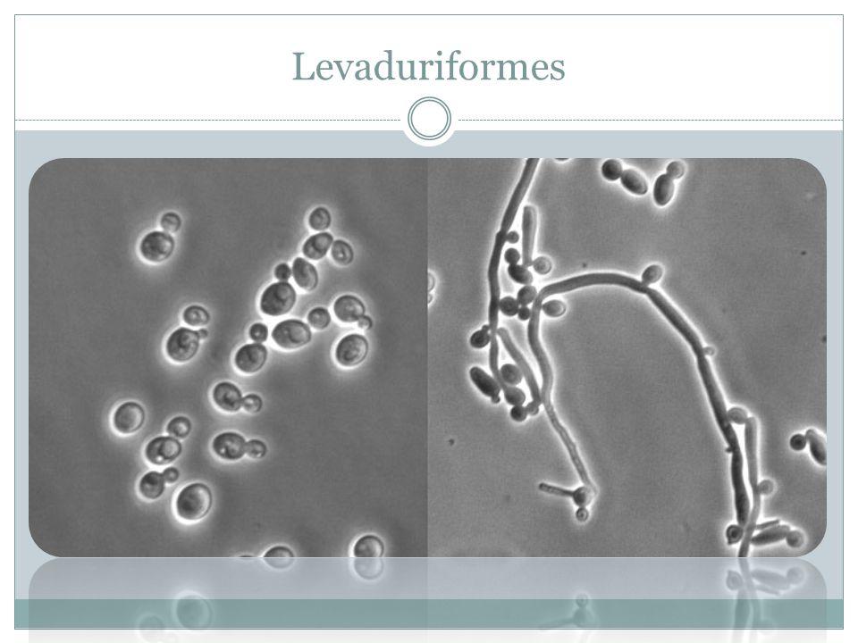 Levaduriformes
