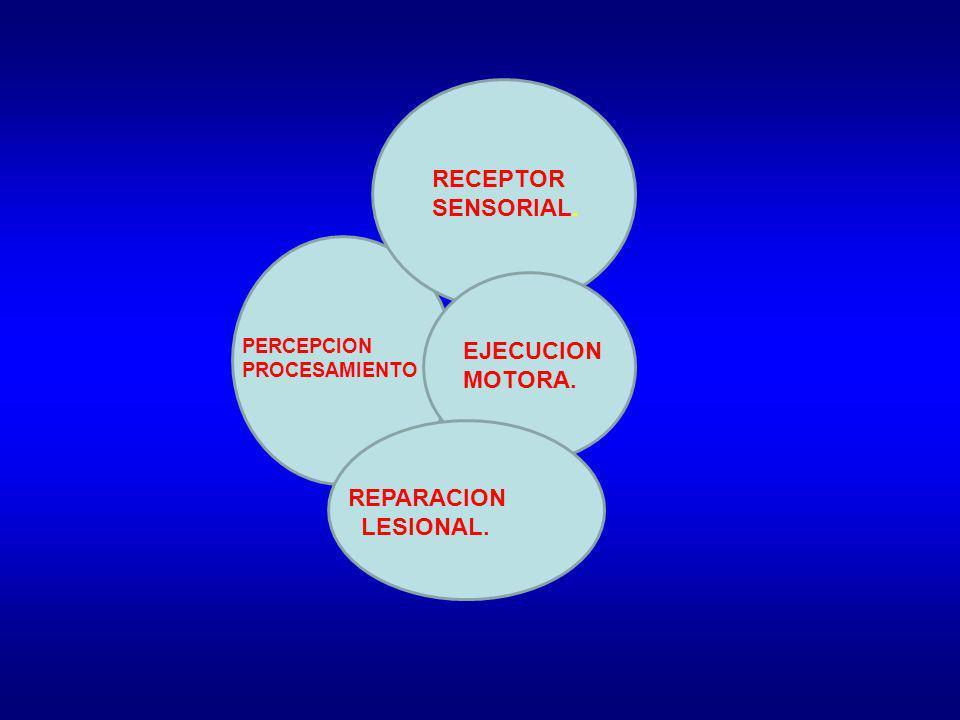 RECEPTOR SENSORIAL. PERCEPCION PROCESAMIENTO EJECUCION MOTORA. REPARACION LESIONAL.