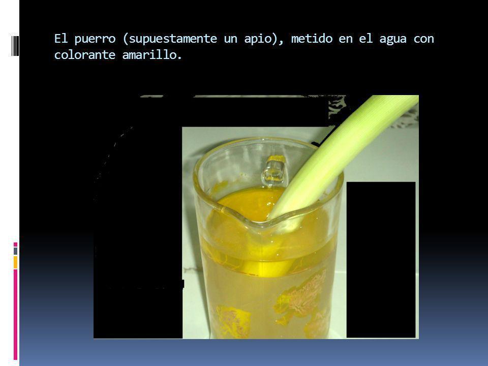 El puerro (supuestamente un apio), metido en el agua con colorante amarillo.