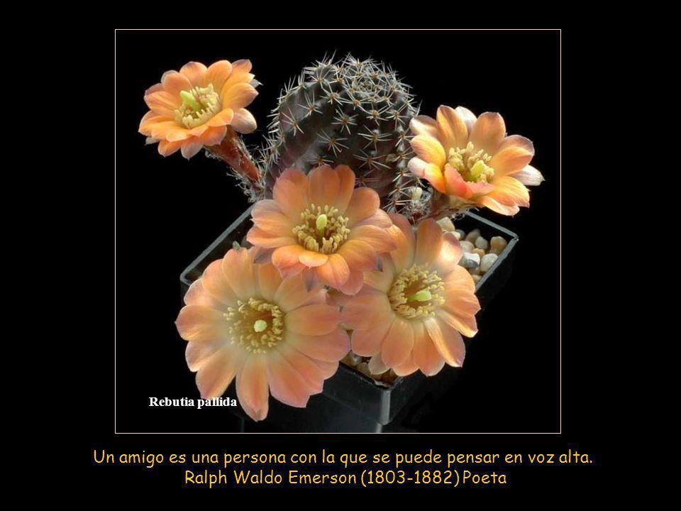 Mammillaria albiflora Un padre es un tesoro, un hermano es un consuelo: un amigo es ambos.