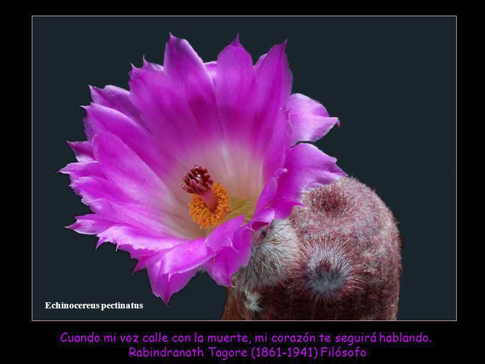 Echinocereus pectinatus Cuando mi voz calle con la muerte, mi corazón te seguirá hablando.