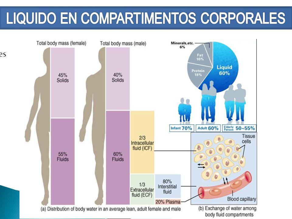 LÌQUIDO INTRACELULAR REPRESENTA APROXIMADAMENTE EL 30% AL 40% DEL PESO CORPORAL, SE ENCUENTRA PRINCIPALMENTE EN EL MÙSCULO ESQUELÈTICO, CONTIENE: POTASIO, MAGNESIO, SULFATO Y FOSFATO.