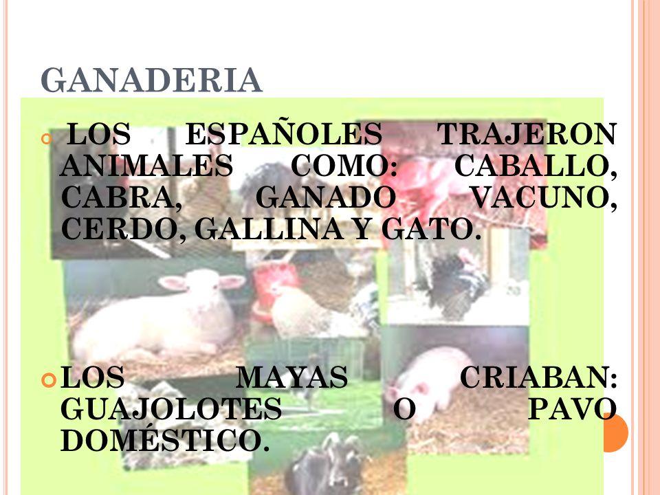 GANADERIA LOS ESPAÑOLES TRAJERON ANIMALES COMO: CABALLO, CABRA, GANADO VACUNO, CERDO, GALLINA Y GATO. LOS MAYAS CRIABAN: GUAJOLOTES O PAVO DOMÉSTICO.