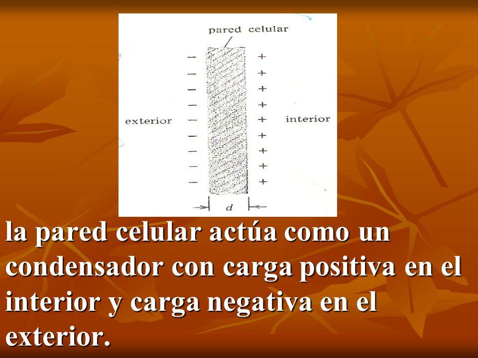 la pared celular actúa como un condensador con carga positiva en el interior y carga negativa en el exterior.