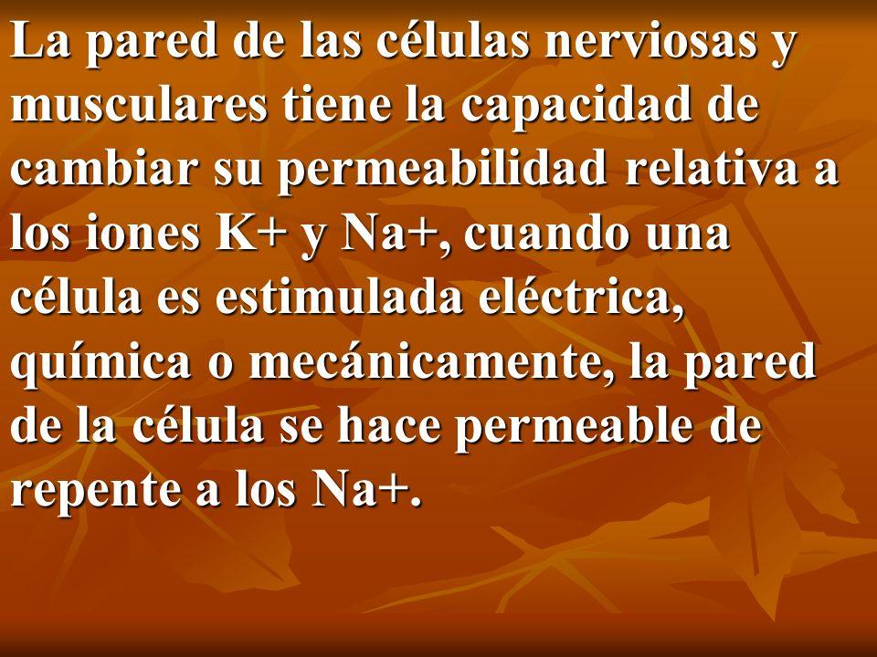 La pared de las células nerviosas y musculares tiene la capacidad de cambiar su permeabilidad relativa a los iones K+ y Na+, cuando una célula es esti