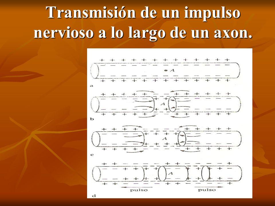 Transmisión de un impulso nervioso a lo largo de un axon.