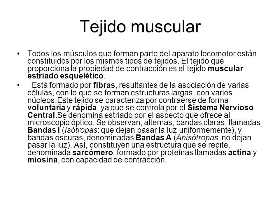 Tejido muscular Todos los músculos que forman parte del aparato locomotor están constituidos por los mismos tipos de tejidos.