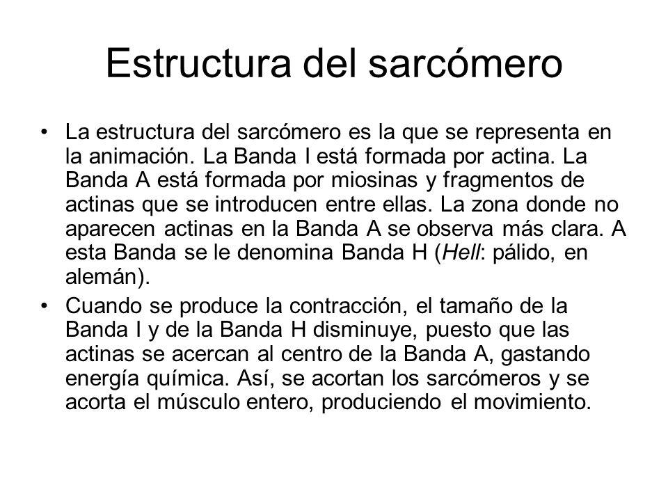 Estructura del sarcómero La estructura del sarcómero es la que se representa en la animación.