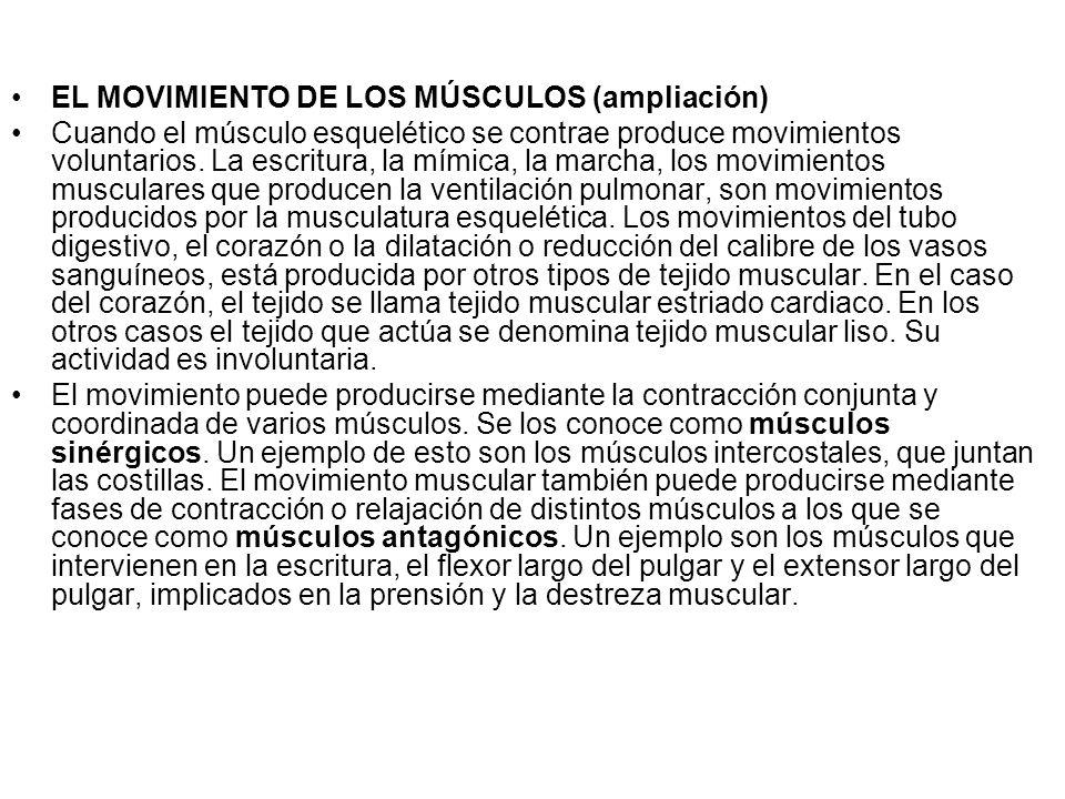 EL MOVIMIENTO DE LOS MÚSCULOS (ampliación) Cuando el músculo esquelético se contrae produce movimientos voluntarios.