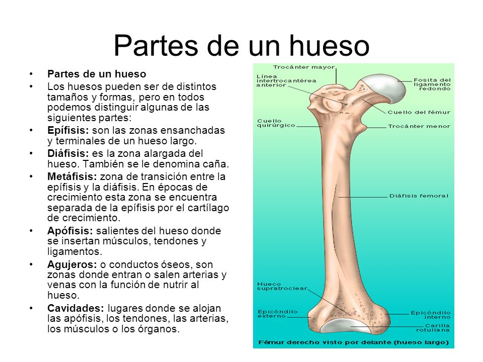 Partes de un hueso Los huesos pueden ser de distintos tamaños y formas, pero en todos podemos distinguir algunas de las siguientes partes: Epífisis: son las zonas ensanchadas y terminales de un hueso largo.