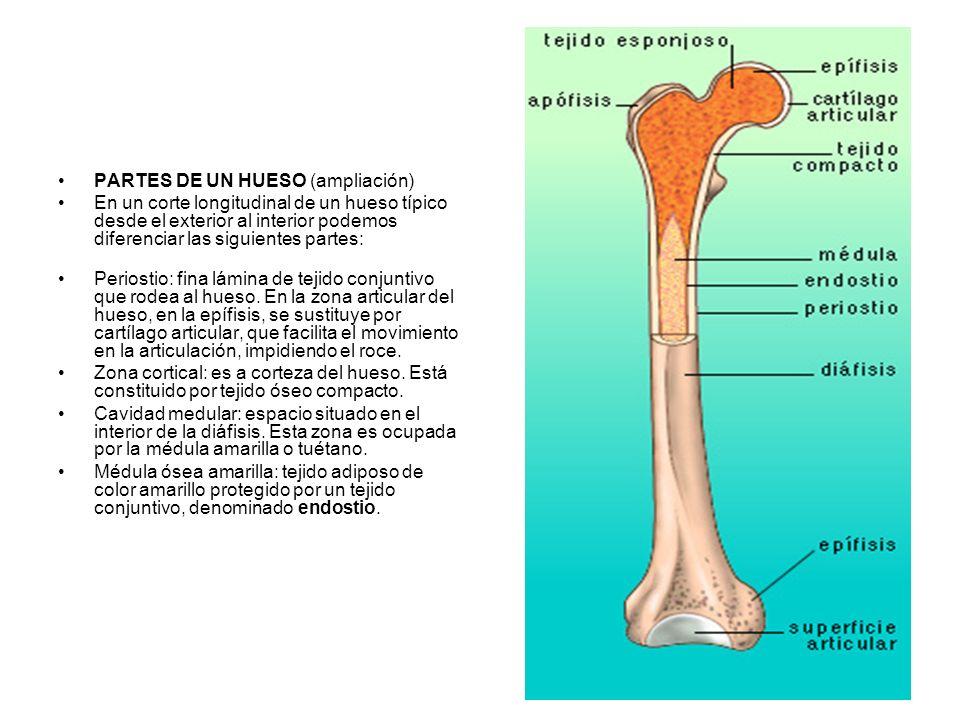 PARTES DE UN HUESO (ampliación) En un corte longitudinal de un hueso típico desde el exterior al interior podemos diferenciar las siguientes partes: Periostio: fina lámina de tejido conjuntivo que rodea al hueso.