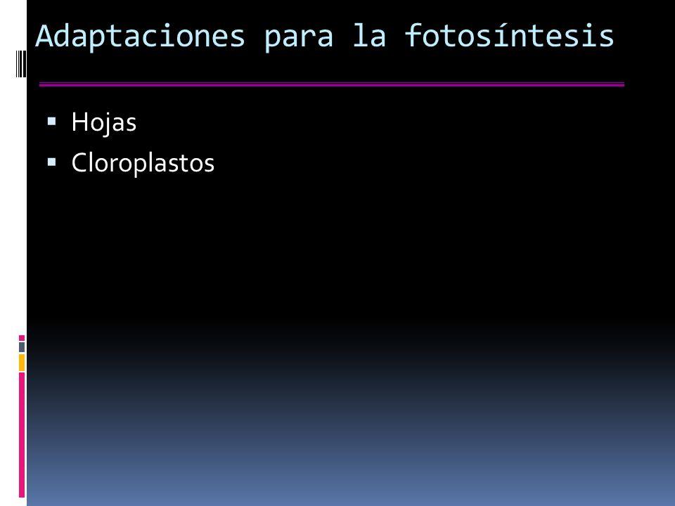 Adaptaciones para la fotosíntesis Hojas Cloroplastos