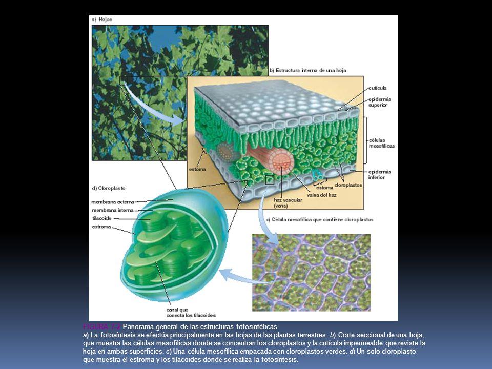 FIGURA 7-2 Panorama general de las estructuras fotosintéticas a) La fotosíntesis se efectúa principalmente en las hojas de las plantas terrestres.