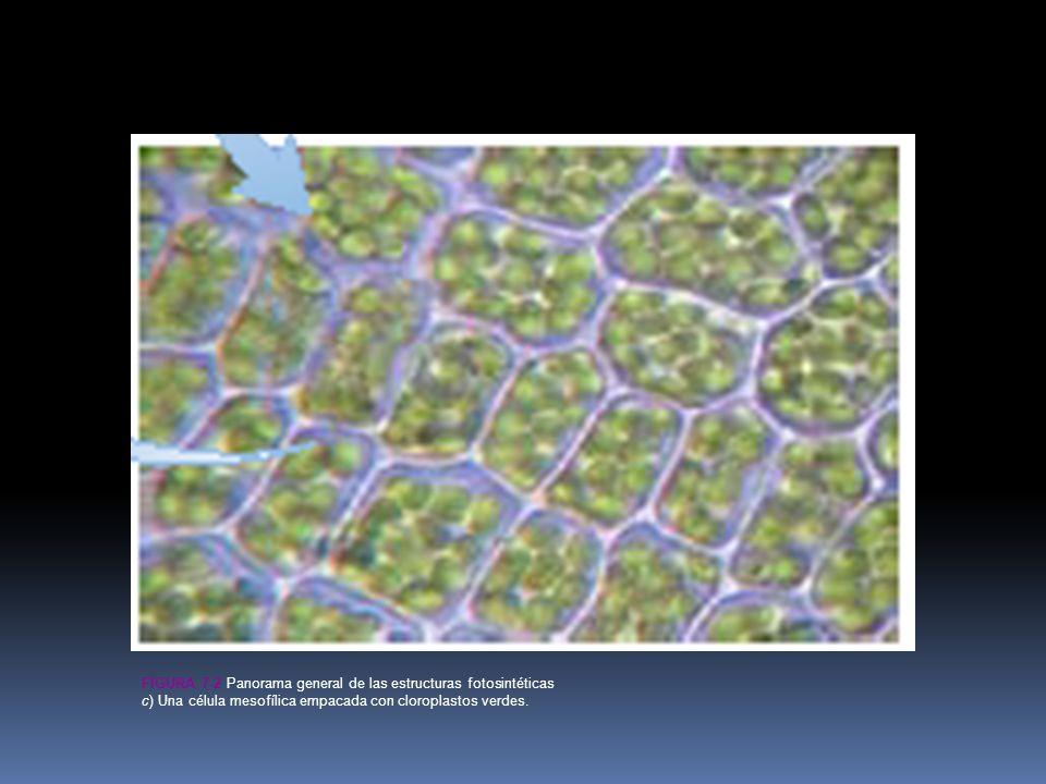 FIGURA 7-2 Panorama general de las estructuras fotosintéticas c) Una célula mesofílica empacada con cloroplastos verdes.