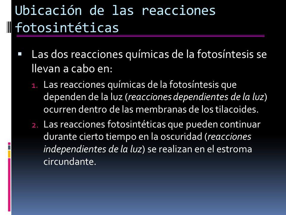 Ubicación de las reacciones fotosintéticas Las dos reacciones químicas de la fotosíntesis se llevan a cabo en: 1.