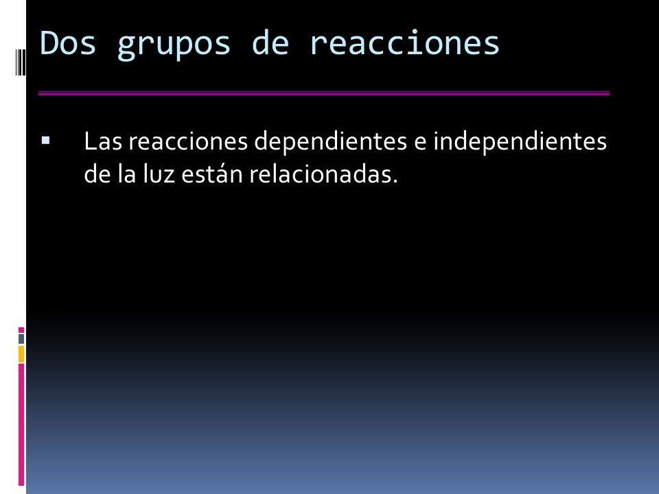 Dos grupos de reacciones Las reacciones dependientes e independientes de la luz están relacionadas.
