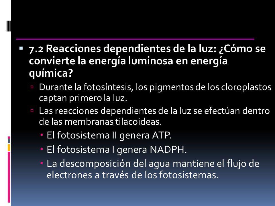 7.2 Reacciones dependientes de la luz: ¿Cómo se convierte la energía luminosa en energía química.