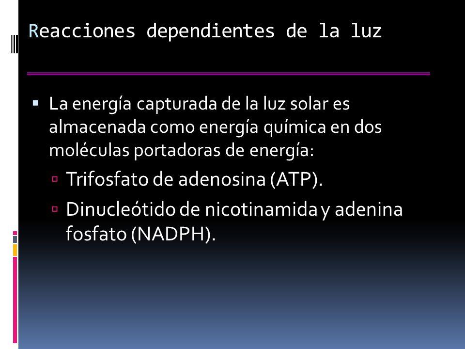 Reacciones dependientes de la luz La energía capturada de la luz solar es almacenada como energía química en dos moléculas portadoras de energía: Trifosfato de adenosina (ATP).