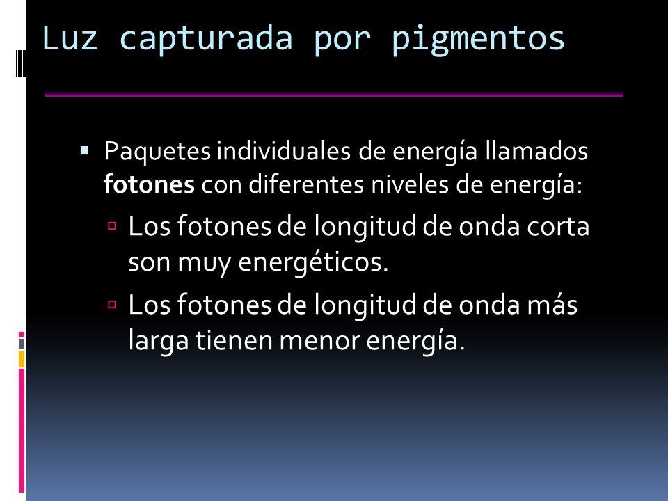 Luz capturada por pigmentos Paquetes individuales de energía llamados fotones con diferentes niveles de energía: Los fotones de longitud de onda corta son muy energéticos.