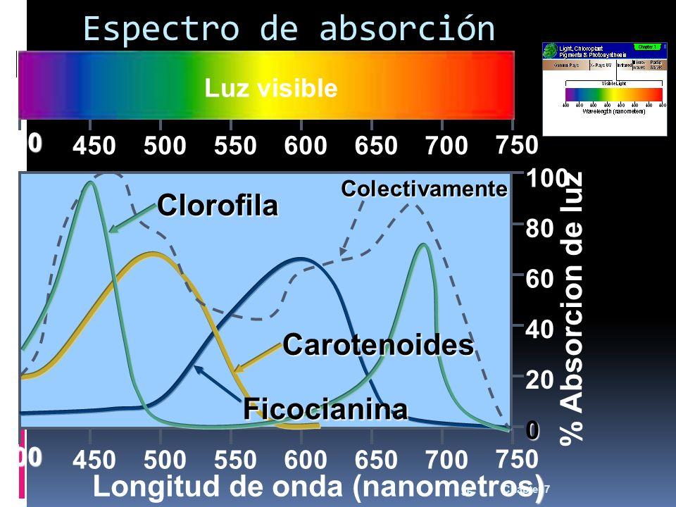 Chapter 7 36 0 20 40 60 80 100 % Absorcion de luz 400 450500550600650700 750 ) Longitud de onda (nanometros) 400 450500550600650700 750 Espectro de absorción Luz visible Clorofila Carotenoides Ficocianina Colectivamente