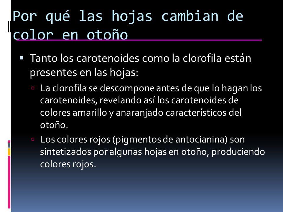 Por qué las hojas cambian de color en otoño Tanto los carotenoides como la clorofila están presentes en las hojas: La clorofila se descompone antes de que lo hagan los carotenoides, revelando así los carotenoides de colores amarillo y anaranjado característicos del otoño.