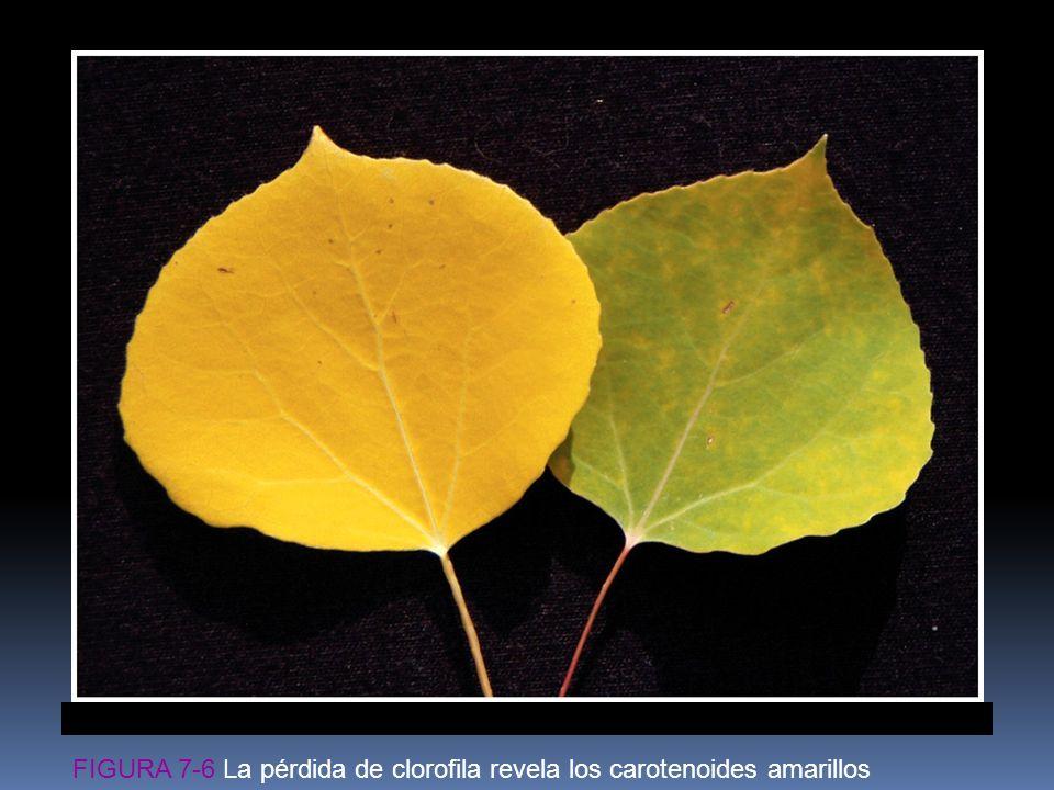 FIGURA 7-6 La pérdida de clorofila revela los carotenoides amarillos