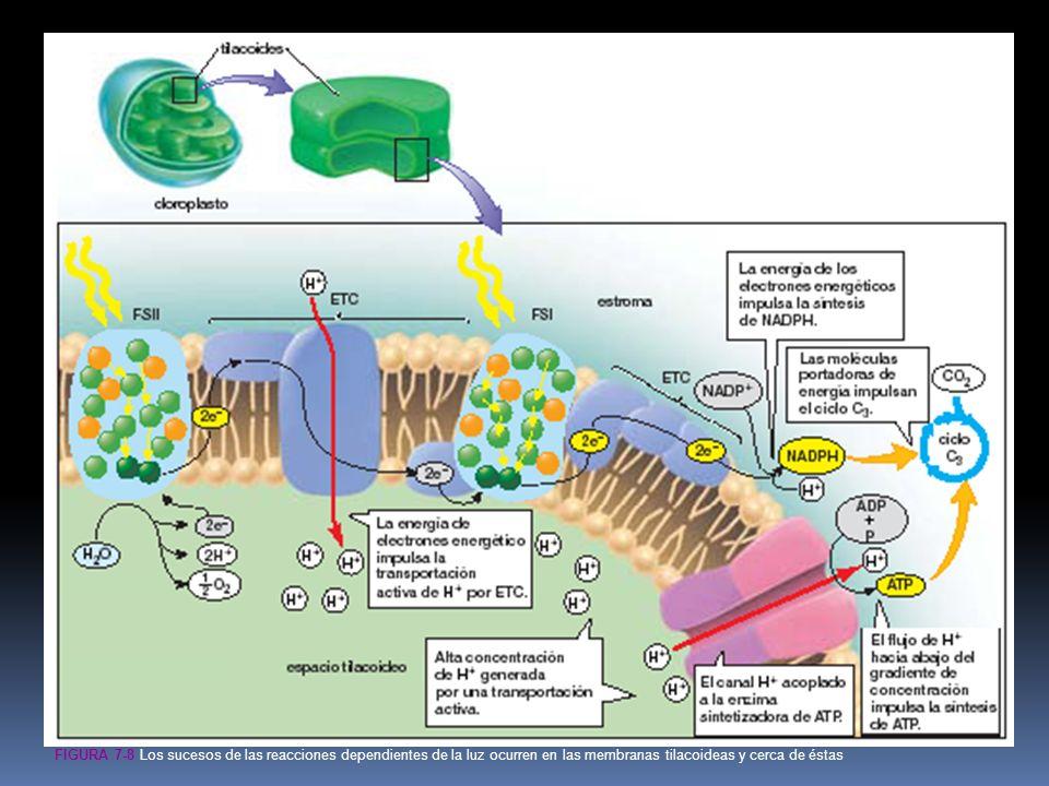 FIGURA 7-8 Los sucesos de las reacciones dependientes de la luz ocurren en las membranas tilacoideas y cerca de éstas