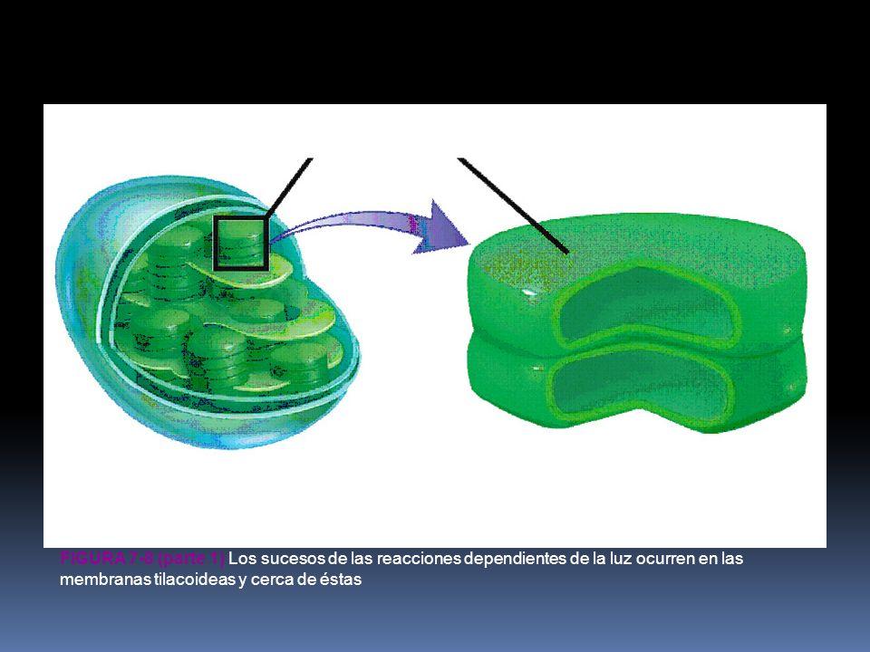 FIGURA 7-8 (parte 1) Los sucesos de las reacciones dependientes de la luz ocurren en las membranas tilacoideas y cerca de éstas tilacoide cloroplasto