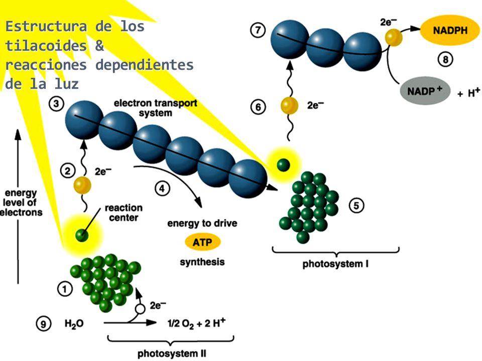 Chapter 7 43 Chapter 7 43 Estructura de los tilacoides & reacciones dependientes de la luz