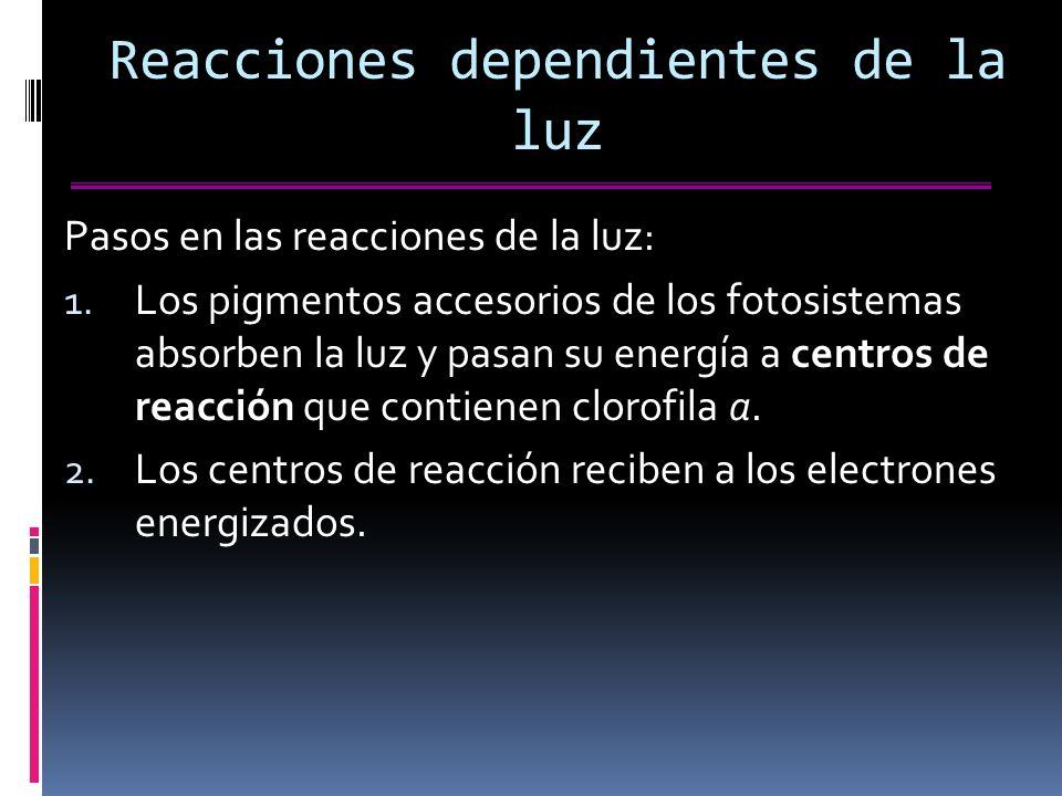 Reacciones dependientes de la luz Pasos en las reacciones de la luz: 1.