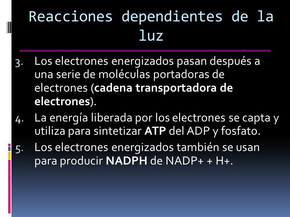 Reacciones dependientes de la luz 3.