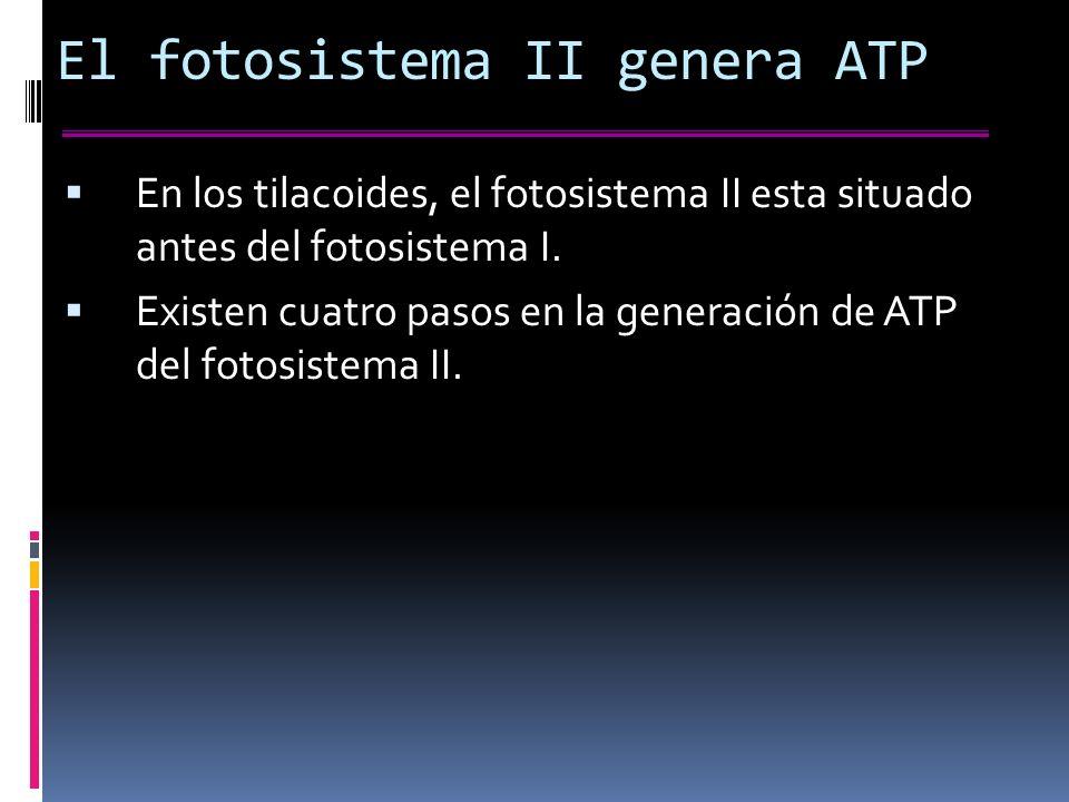 El fotosistema II genera ATP En los tilacoides, el fotosistema II esta situado antes del fotosistema I.