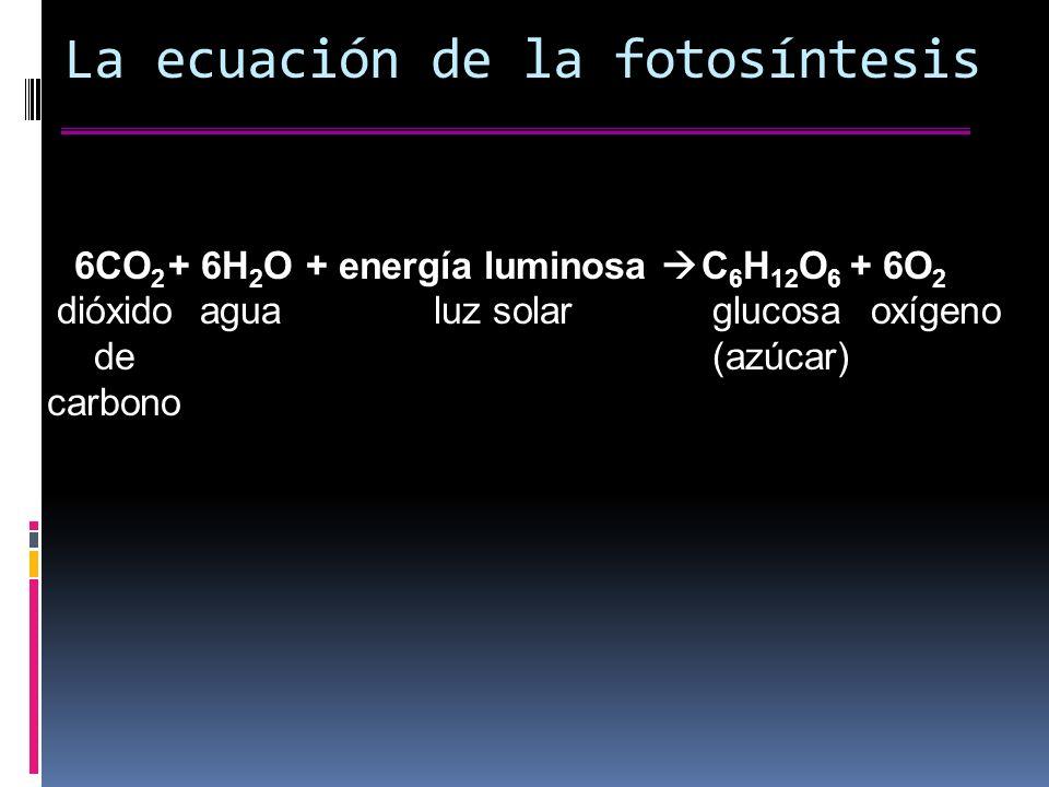 La ecuación de la fotosíntesis 6CO 2 dióxido de carbono + 6H 2 O agua + energía luminosa luz solar C 6 H 12 O 6 glucosa (azúcar) + 6O 2 oxígeno