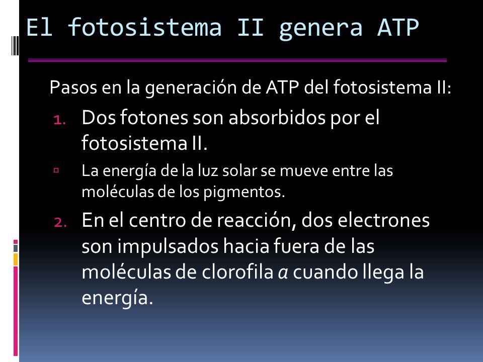El fotosistema II genera ATP Pasos en la generación de ATP del fotosistema II: 1.