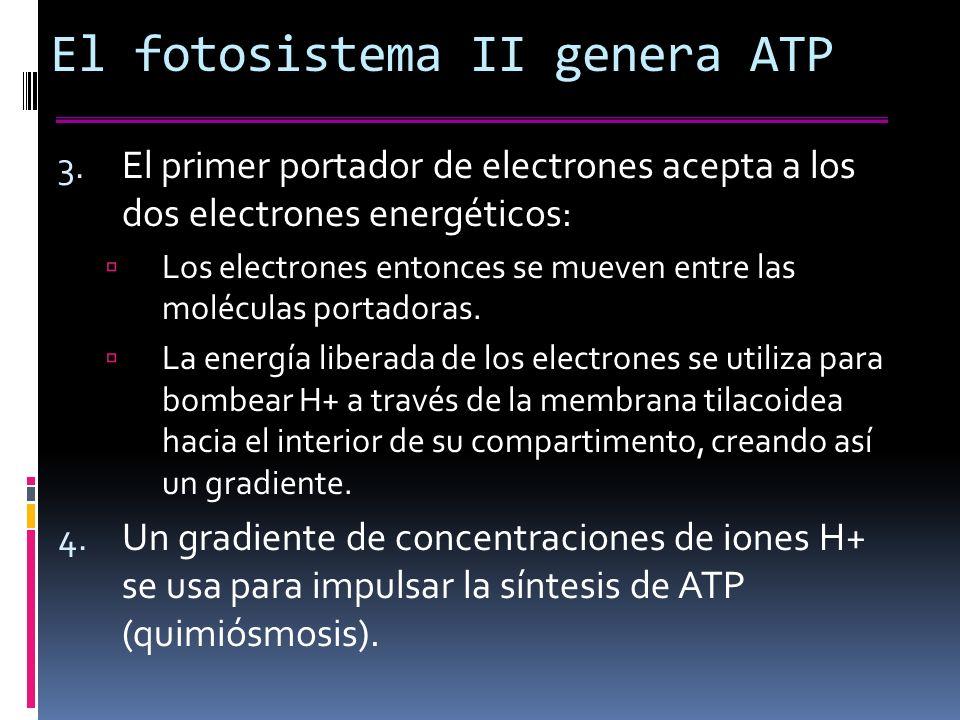 El fotosistema II genera ATP 3.