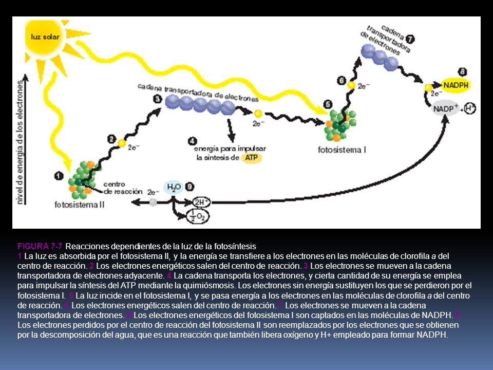 FIGURA 7-7 Reacciones dependientes de la luz de la fotosíntesis 1 La luz es absorbida por el fotosistema II, y la energía se transfiere a los electrones en las moléculas de clorofila a del centro de reacción.