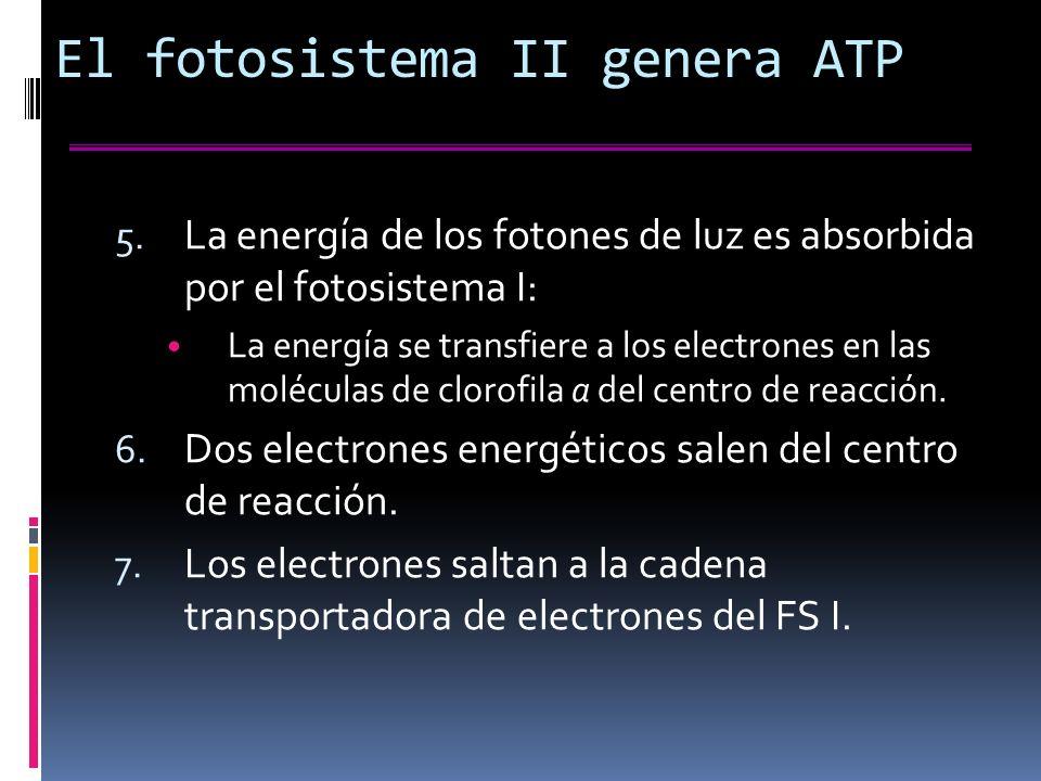 El fotosistema II genera ATP 5.