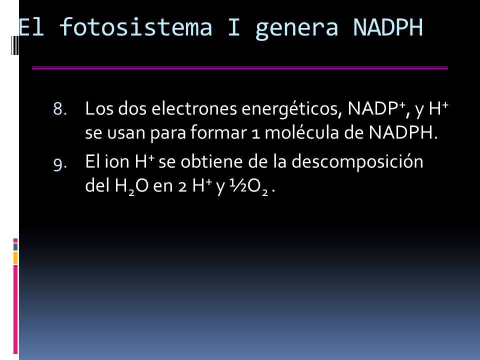 El fotosistema I genera NADPH 8.