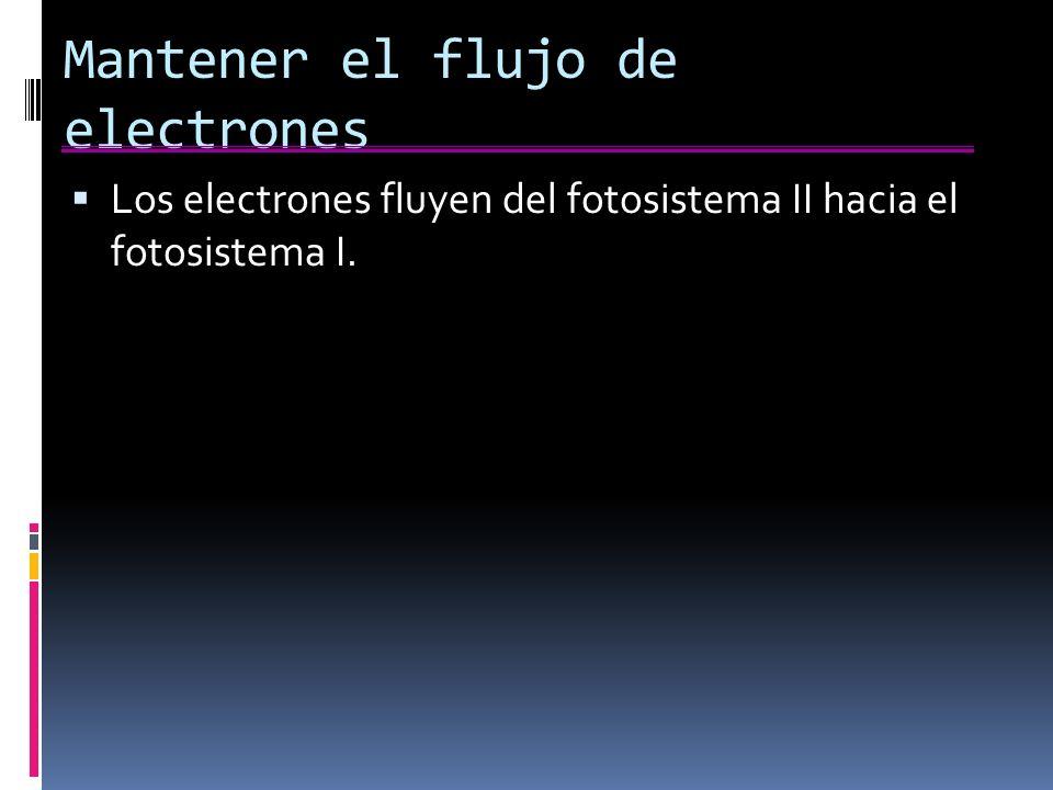 Mantener el flujo de electrones Los electrones fluyen del fotosistema II hacia el fotosistema I.