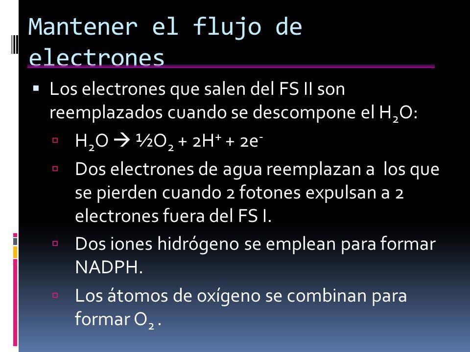 Mantener el flujo de electrones Los electrones que salen del FS II son reemplazados cuando se descompone el H 2 O: H 2 O ½O 2 + 2H + + 2e - Dos electrones de agua reemplazan a los que se pierden cuando 2 fotones expulsan a 2 electrones fuera del FS I.