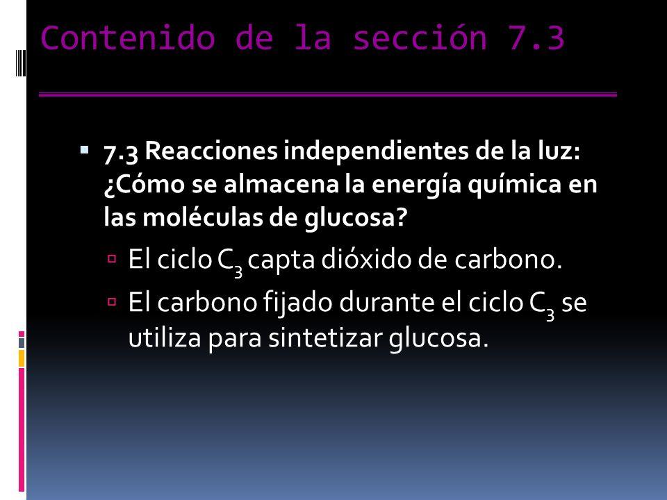 Contenido de la sección 7.3 7.3 Reacciones independientes de la luz: ¿Cómo se almacena la energía química en las moléculas de glucosa.
