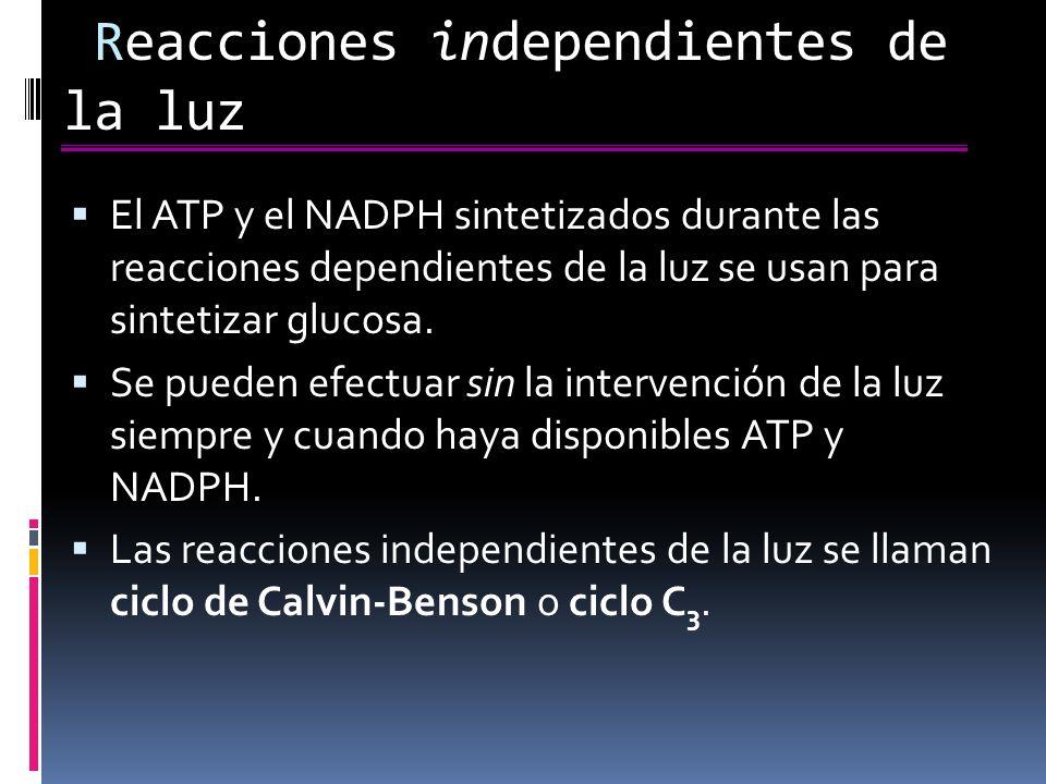 Reacciones independientes de la luz El ATP y el NADPH sintetizados durante las reacciones dependientes de la luz se usan para sintetizar glucosa.
