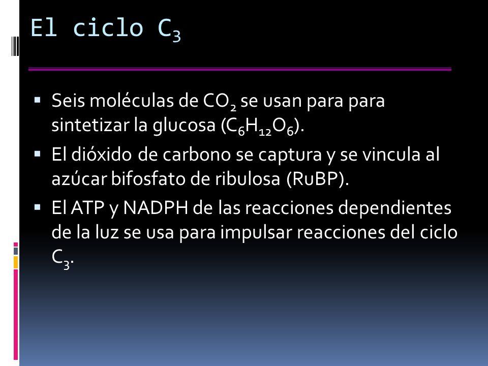 El ciclo C 3 Seis moléculas de CO 2 se usan para para sintetizar la glucosa (C 6 H 12 O 6 ).