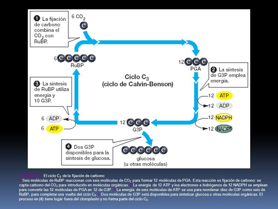 FIGURA 7-10 El ciclo C 3 de la fijación de carbono 1 Seis moléculas de RuBP reaccionan con seis moléculas de CO 2 para formar 12 moléculas de PGA.