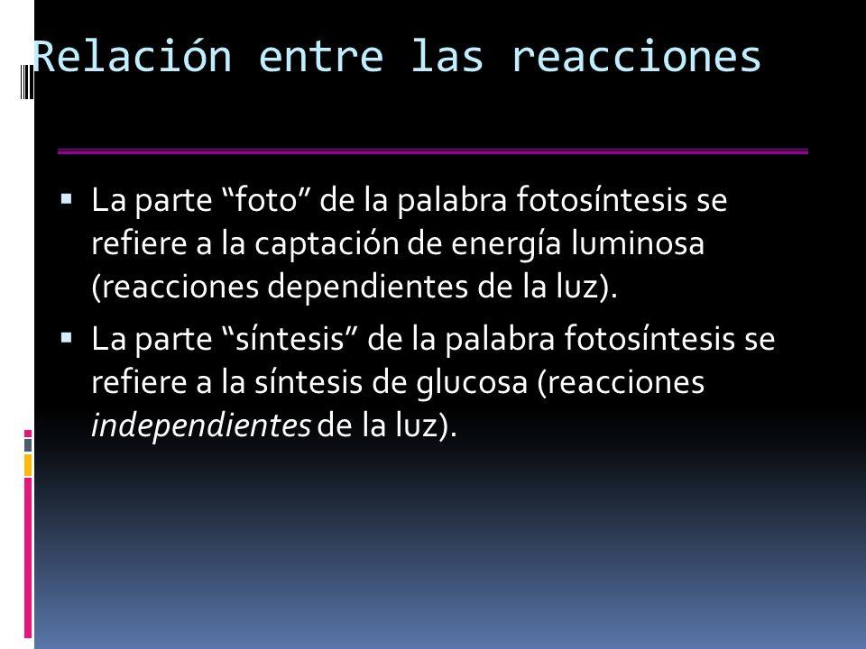 Relación entre las reacciones La parte foto de la palabra fotosíntesis se refiere a la captación de energía luminosa (reacciones dependientes de la luz).