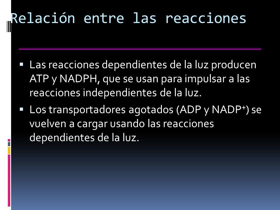Relación entre las reacciones Las reacciones dependientes de la luz producen ATP y NADPH, que se usan para impulsar a las reacciones independientes de la luz.