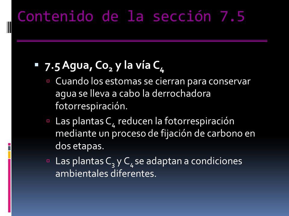Contenido de la sección 7.5 7.5 Agua, Co 2 y la vía C 4 Cuando los estomas se cierran para conservar agua se lleva a cabo la derrochadora fotorrespiración.
