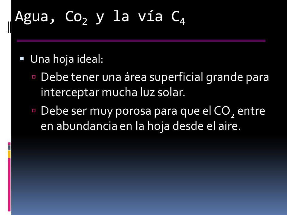 Agua, Co 2 y la vía C 4 Una hoja ideal: Debe tener una área superficial grande para interceptar mucha luz solar.