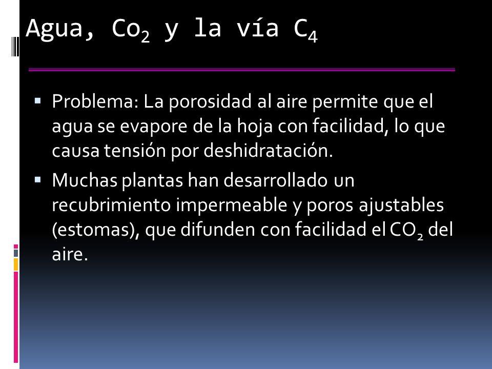 Agua, Co 2 y la vía C 4 Problema: La porosidad al aire permite que el agua se evapore de la hoja con facilidad, lo que causa tensión por deshidratación.