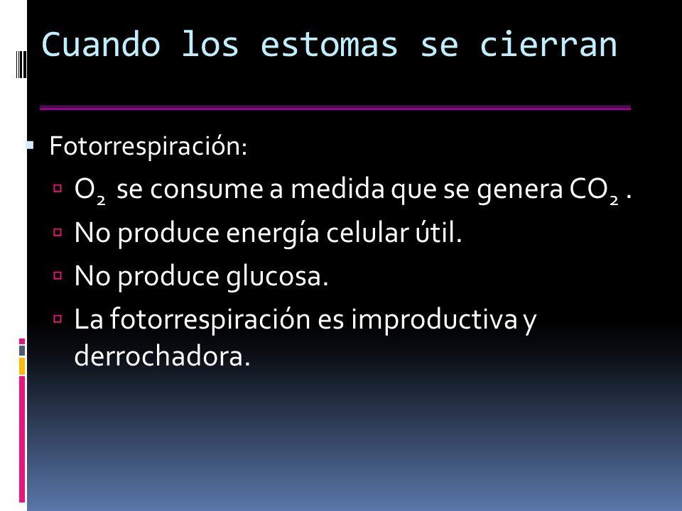 Cuando los estomas se cierran Fotorrespiración: O 2 se consume a medida que se genera CO 2.